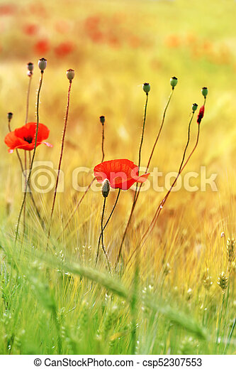 red poppies growing - csp52307553