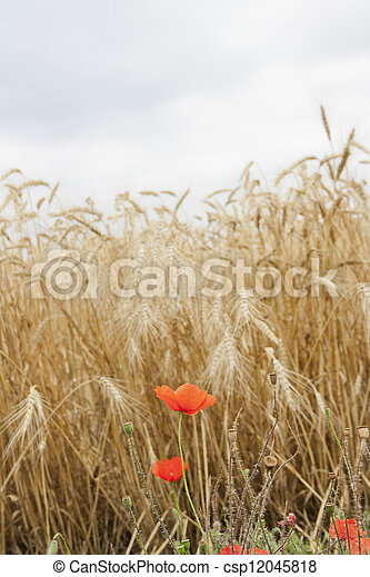 red poppies in a wheat field - csp12045818