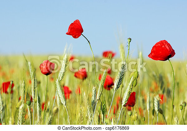 Red Poppies in field . - csp6176869