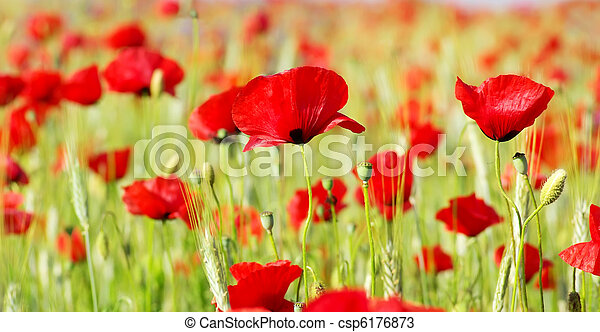 Red Poppies in field . - csp6176873