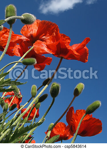 Red Poppies in May, from Below - csp5843614