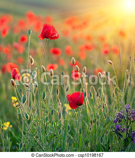 Red poppies in rays of the sun - csp10198167