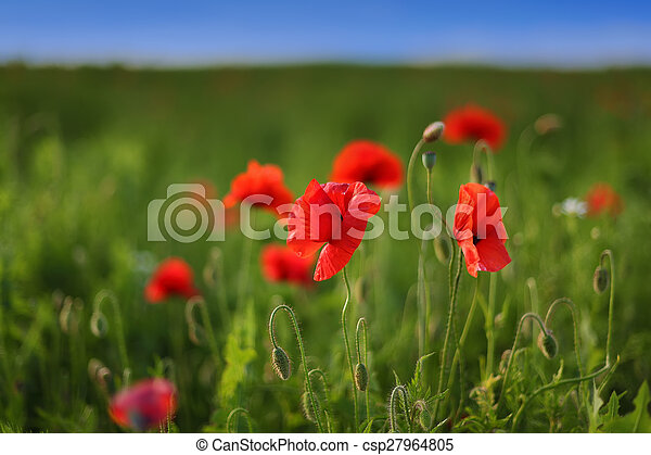 red poppies in the field - csp27964805