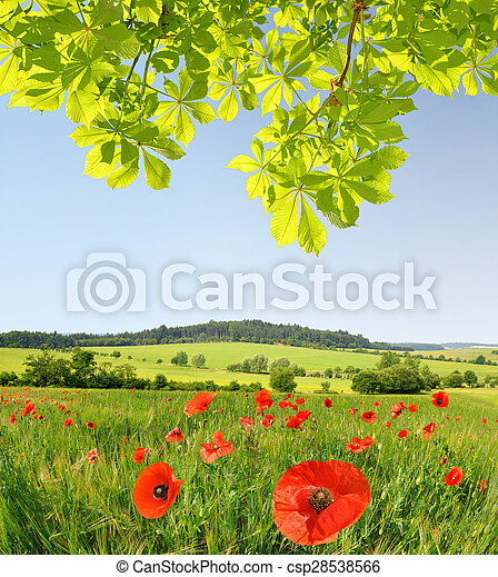 Red poppies in wheat field. - csp28538566