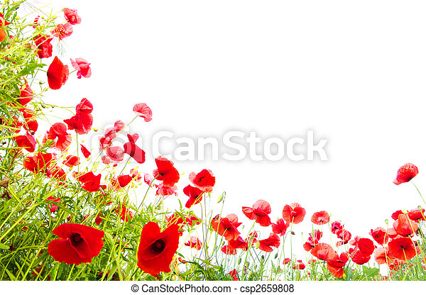 red poppies on white - csp2659808