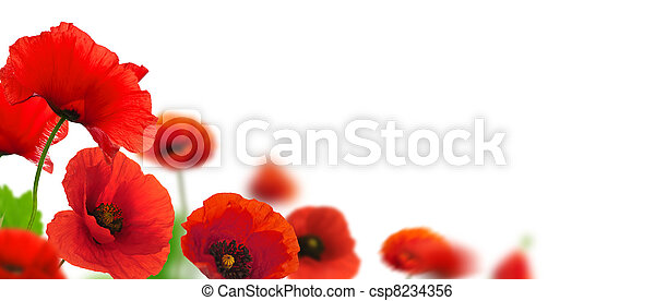 Red poppies over a white background. Border floral design for an angle of page. Closeup of the flowers with focus and blur effect  - csp8234356