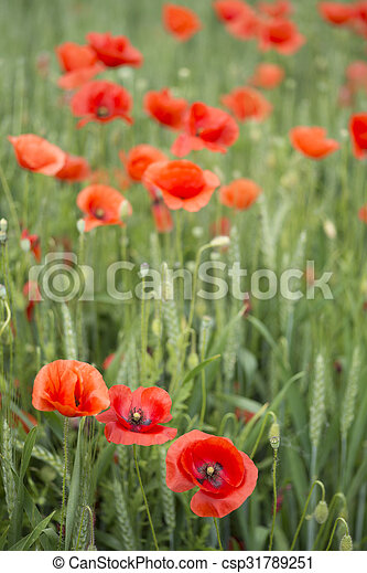Red poppies - csp31789251