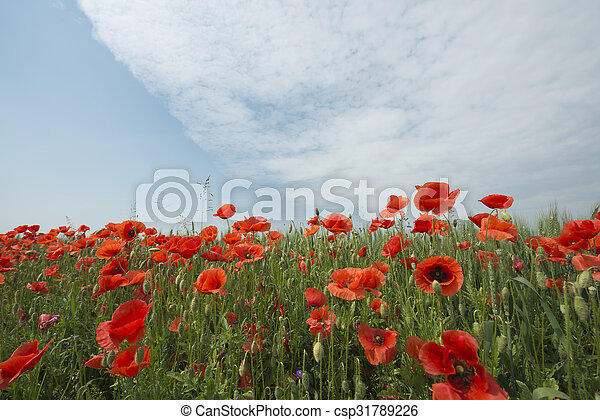 Red poppies - csp31789226