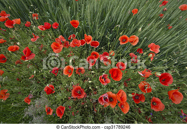 Red poppies - csp31789246