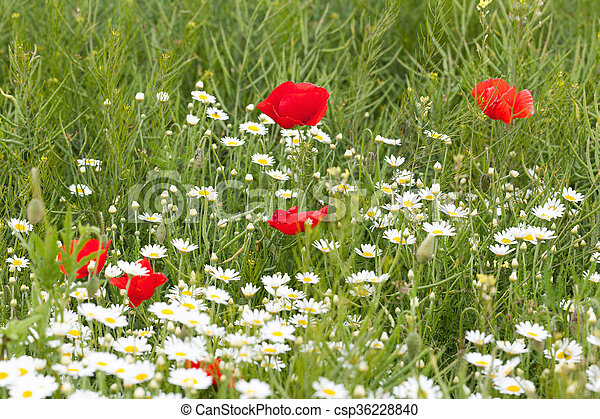Red poppies with daisies - csp36228840