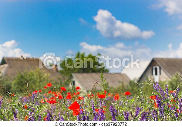 red poppy field scene - csp37923772