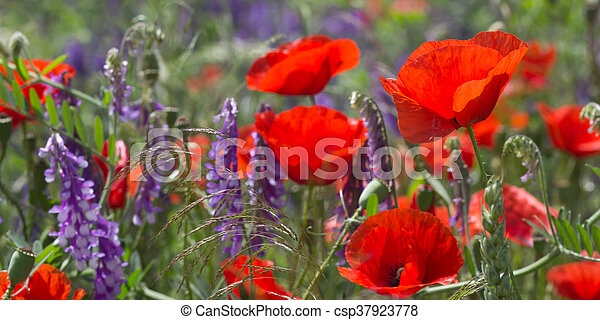 red poppy field scene - csp37923778