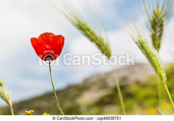 Red poppy flower on the field symbol for remembrance day with copy red poppy flower on the field symbol for remembrance day csp49038751 mightylinksfo