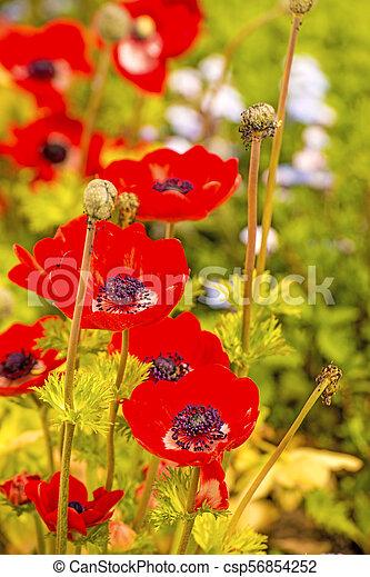 red poppy flowers in spring - csp56854252