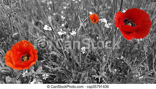 Red poppy flowers on a black and white background red poppy flowers on a black and white background csp35791436 mightylinksfo