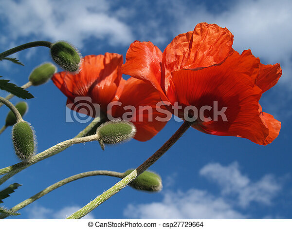 Red Poppy Pair to the Sky in Spring - csp27729664