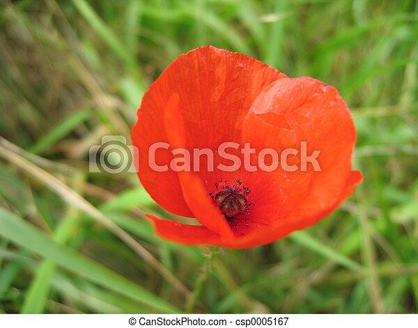 Red Poppy - csp0005167