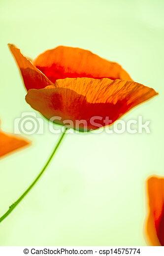 red poppy - csp14575774