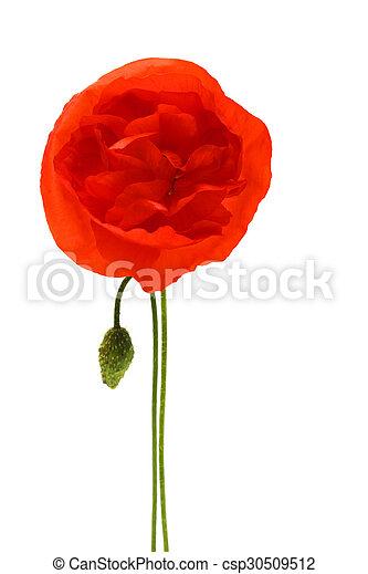 Red poppy - csp30509512