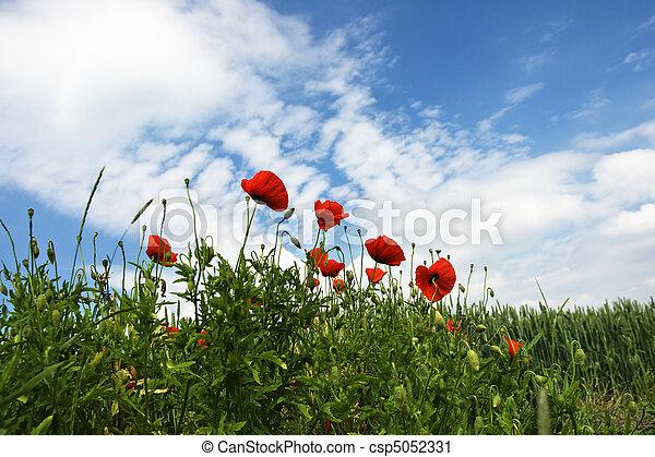 Red poppy - csp5052331
