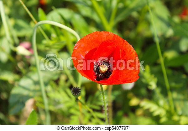 Red poppy - csp54077971