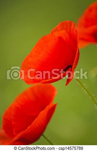 red poppy - csp14575789