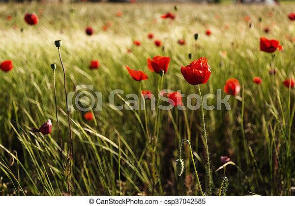 Red poppy - csp37042585