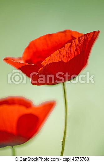 red poppy - csp14575760