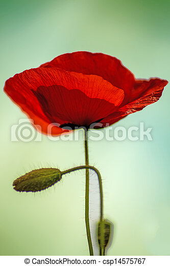 red poppy - csp14575767