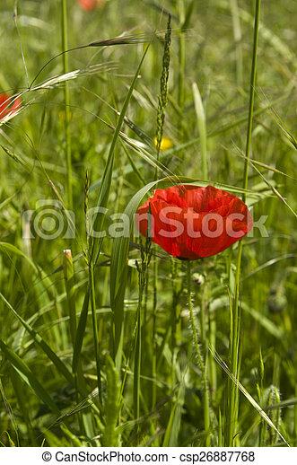 Red Poppy - csp26887768