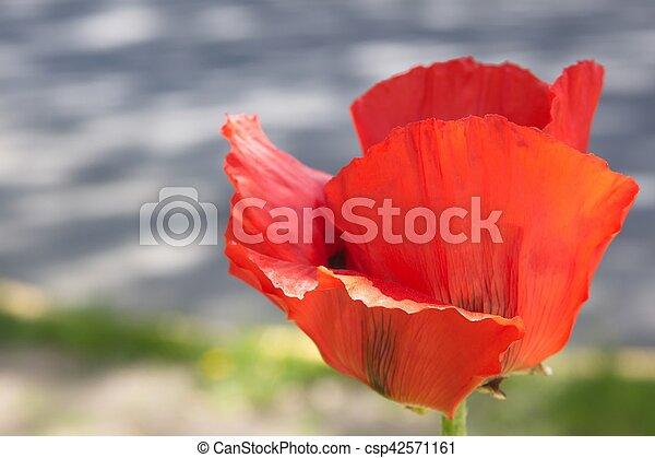 Red Poppy - csp42571161