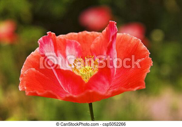 Red poppy - csp5052266