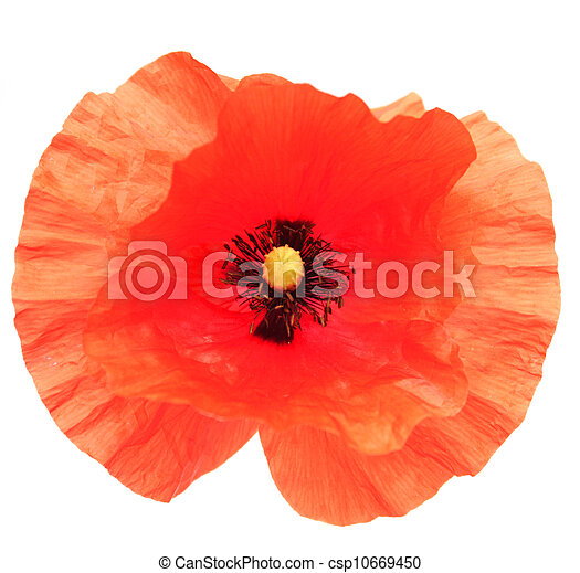 Red poppy - csp10669450