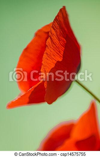 red poppy - csp14575755