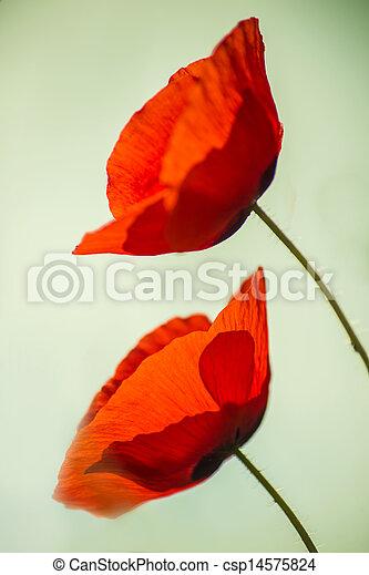 red poppy - csp14575824