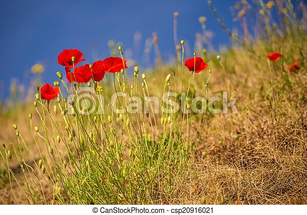 red poppy - csp20916021