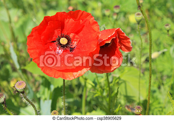 Red poppy - csp38905629