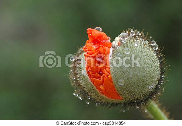 Red Poppy - csp5814854