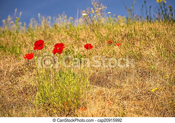red poppy - csp20915992