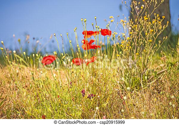 red poppy - csp20915999