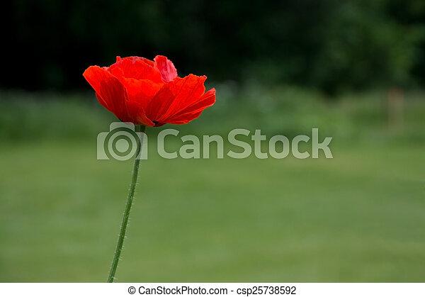 Red poppy - csp25738592