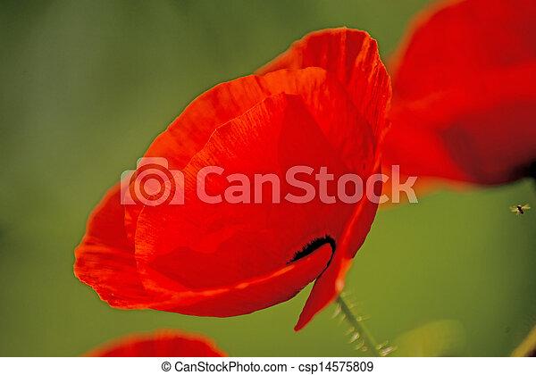 red poppy - csp14575809