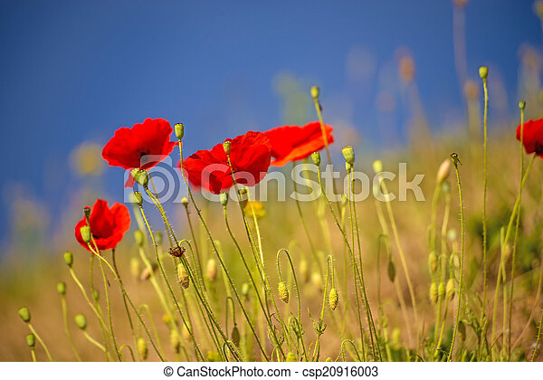 red poppy - csp20916003