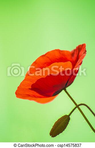 red poppy - csp14575837