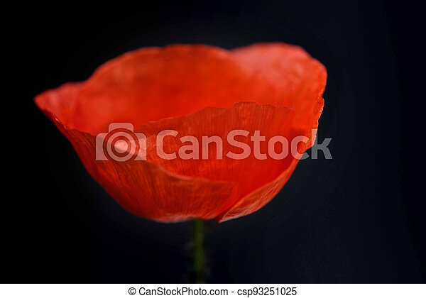 red poppy with flower and blurred empty background - csp93251025