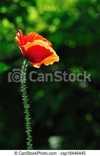 Red poppy with green background - csp18446445