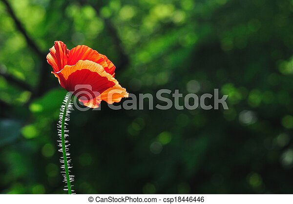 Red poppy with green background - csp18446446