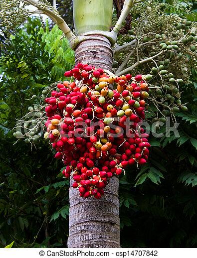 Red ripe Betel nut palm fruit  - csp14707842