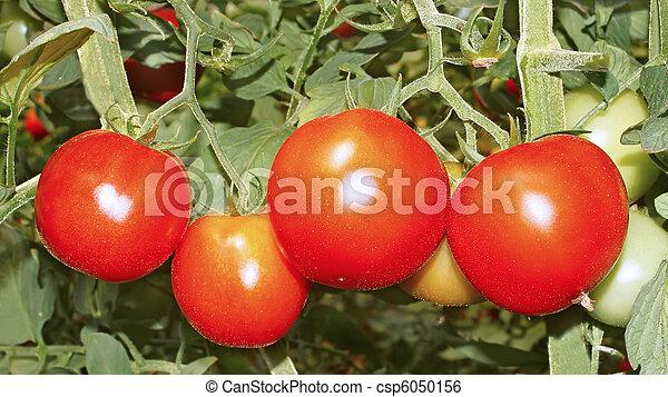 Red ripe tomatoes - csp6050156