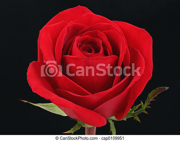 93 Single Red Rose Closeup Shot Isolated On White Background Stock